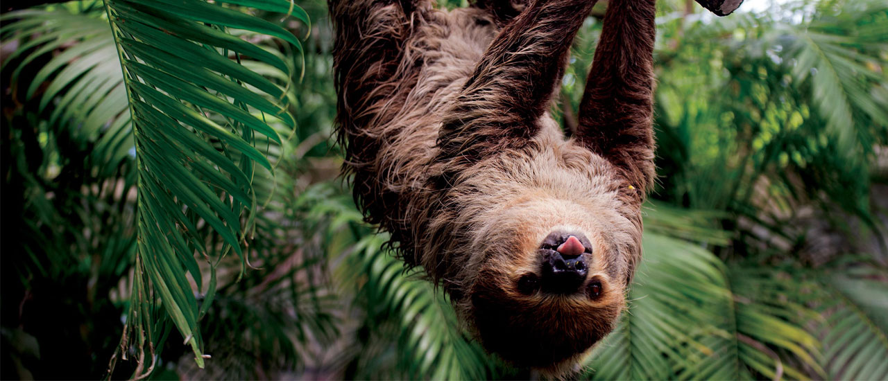 Sloth hanging upside down from a tree with it's tongue out.