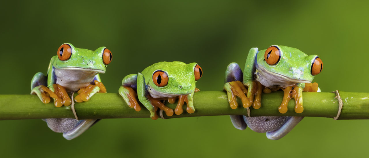 3 Frogs on branch